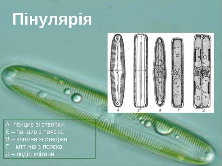 А- панцир зі створки; Б – панцир з пояска; В – клітина зі створки; Г – клітин...