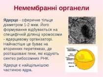 Ядерце - сферичне тільце діаметром 1-2 мкм. Його формування відбувається на с...