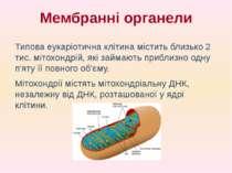 Типова еукаріотична клітина містить близько 2 тис. мітохондрій, які займають ...