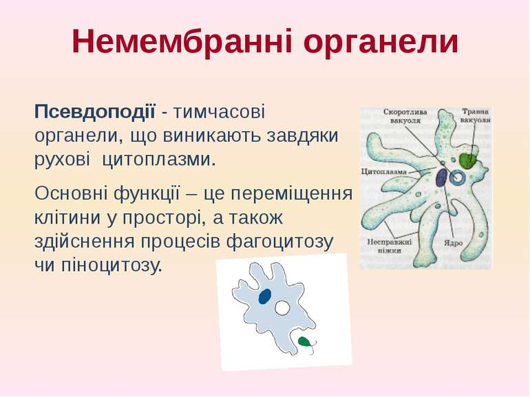 Псевдоподії - тимчасові органели, що виникають завдяки рухові цитоплазми. Осн...