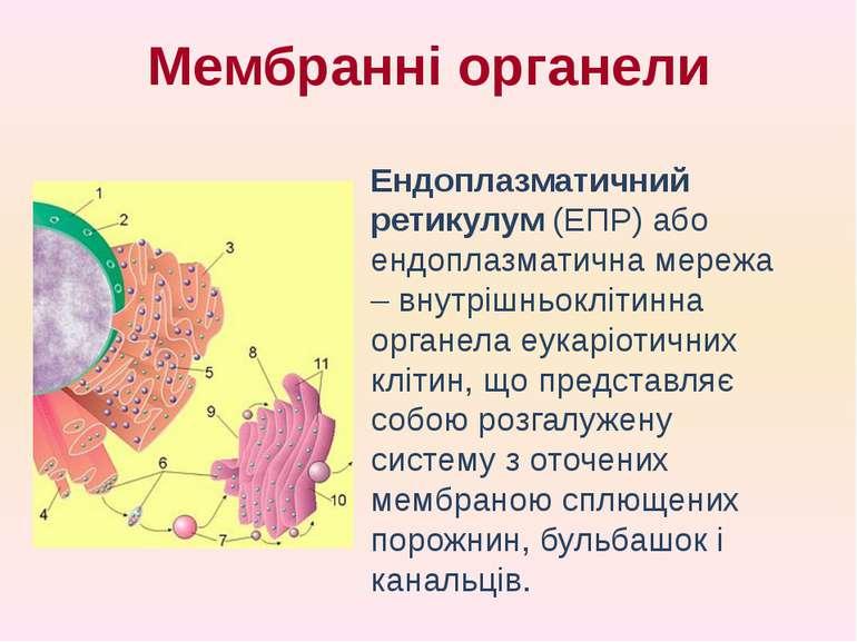 Ендоплазматичний ретикулум (ЕПР) або ендоплазматична мережа – внутрішньокліти...