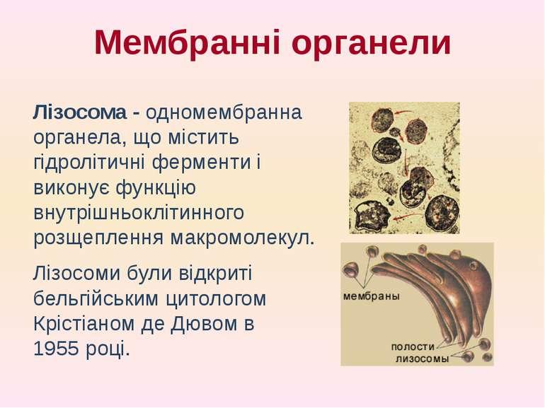 Лізосома - одномембранна органела, що містить гідролітичні ферменти і виконує...