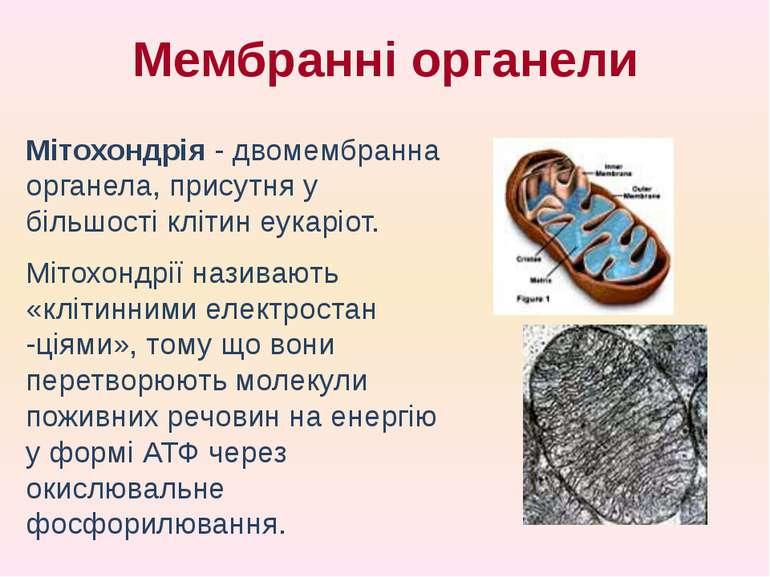 Мітохондрія - двомембранна органела, присутня у більшості клітин еукаріот. Мі...