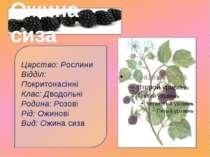 Царство: Рослини Відділ: Покритонасінні Клас: Дводольні Родина: Розові Рід: ...