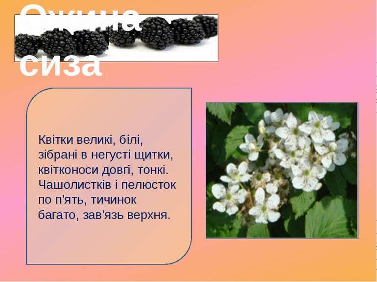 Квітки великі, білі, зібрані в негусті щитки, квітконоси довгі, тонкі. Чашоли...