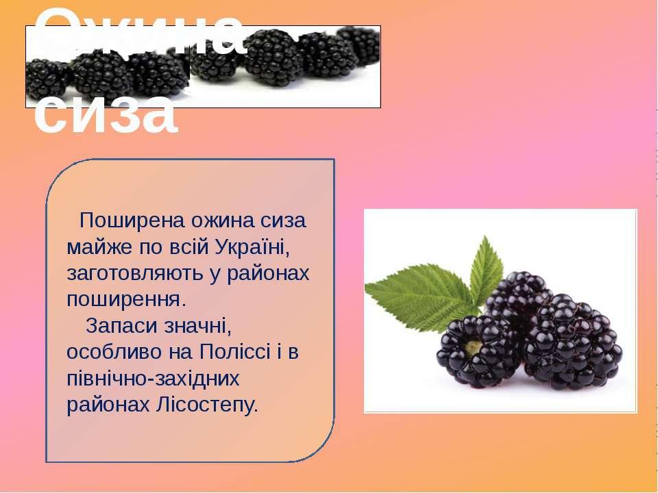 Поширена ожина сиза майже по всій Україні, заготовляють у районах поширення. ...