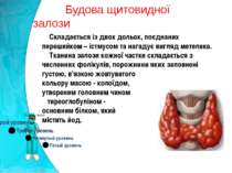 Будова щитовидної залози Складається із двох дольок, поєднаних перешийком – і...