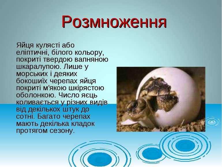 Яйця кулясті або еліптичні, білого кольору, покриті твердою вапняною шкаралуп...