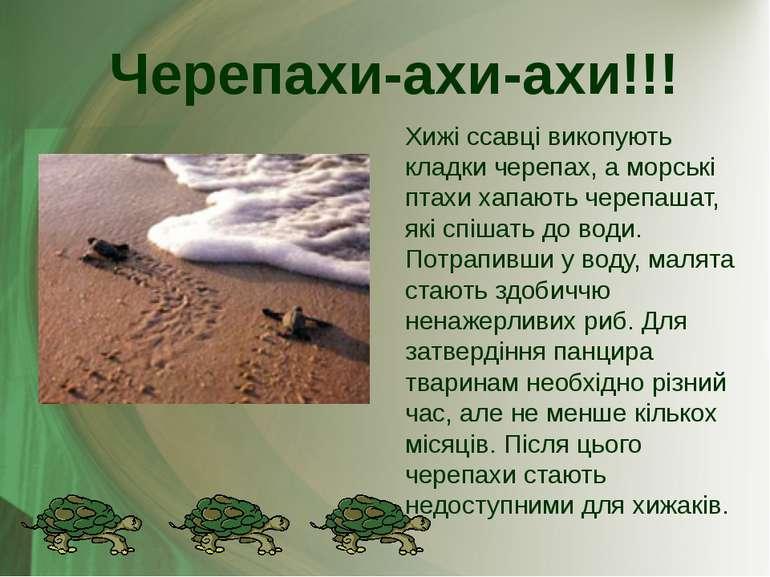 Хижі ссавці викопують кладки черепах, а морські птахи хапають черепашат, які ...