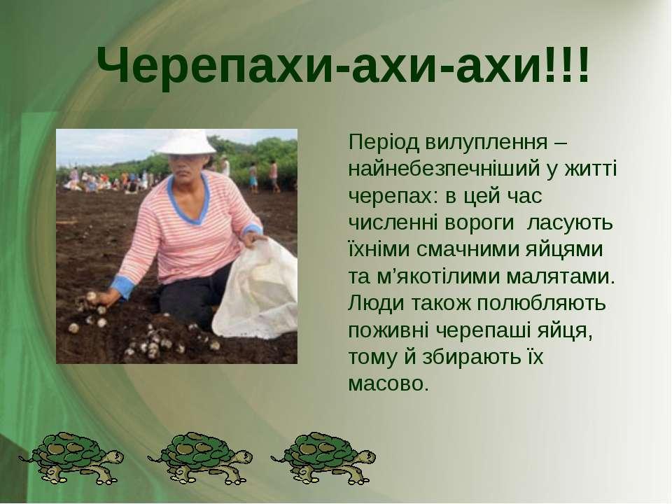 Період вилуплення – найнебезпечніший у житті черепах: в цей час численні воро...