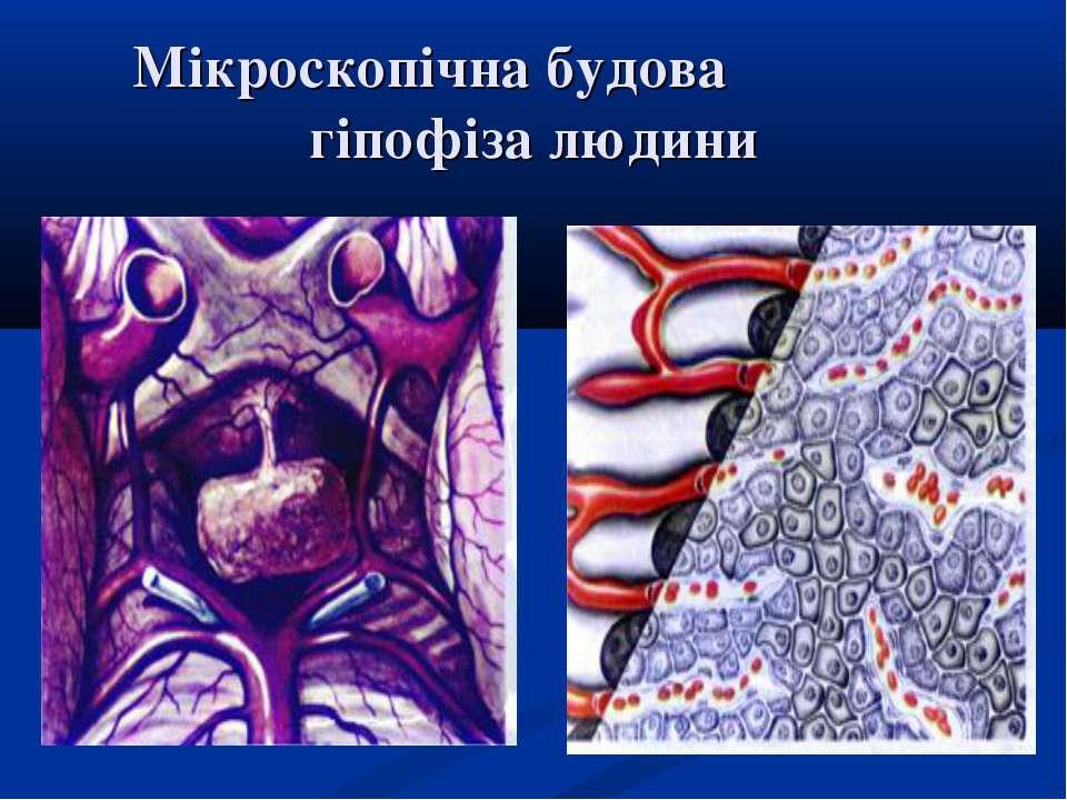 Мікроскопічна будова гіпофіза людини