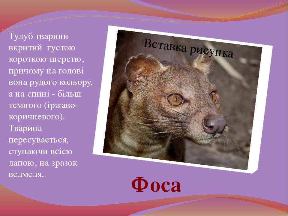 Тулуб тварини вкритий густою короткою шерстю, причому на голові вона рудого к...