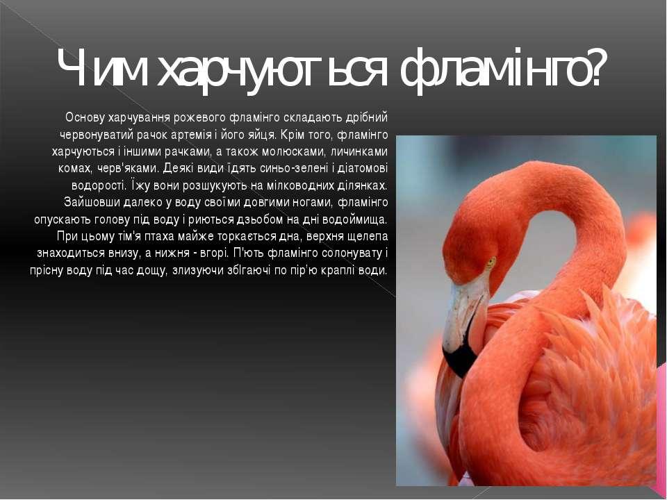 Чим харчуються фламінго? Основу харчування рожевого фламінго складають дрібни...