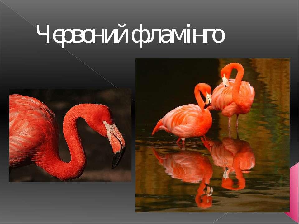 Червоний фламінго
