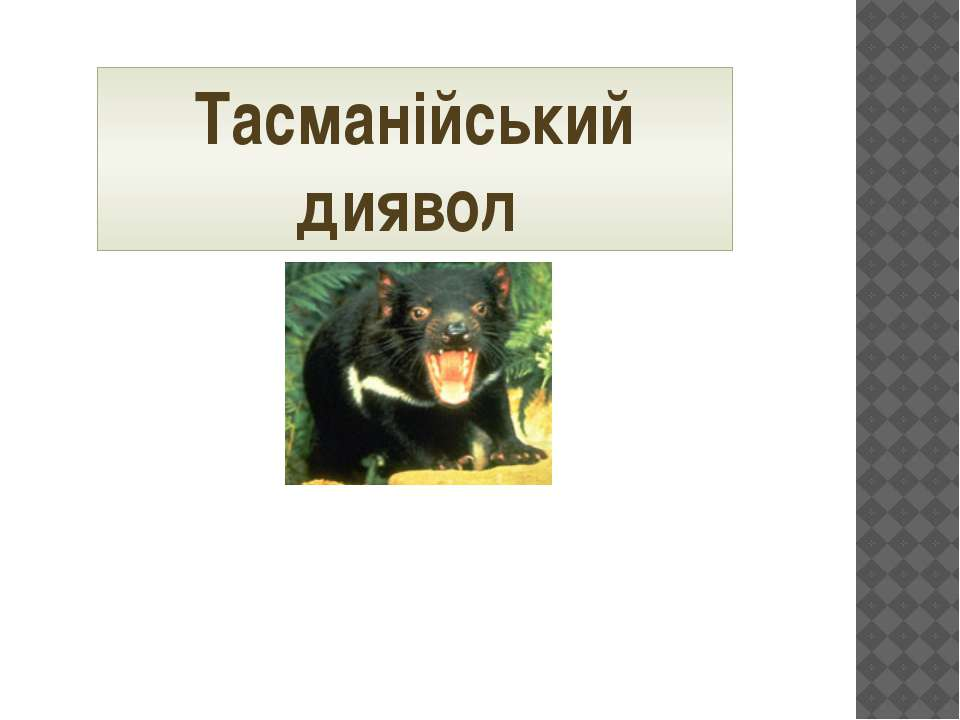 Тасманійський диявол