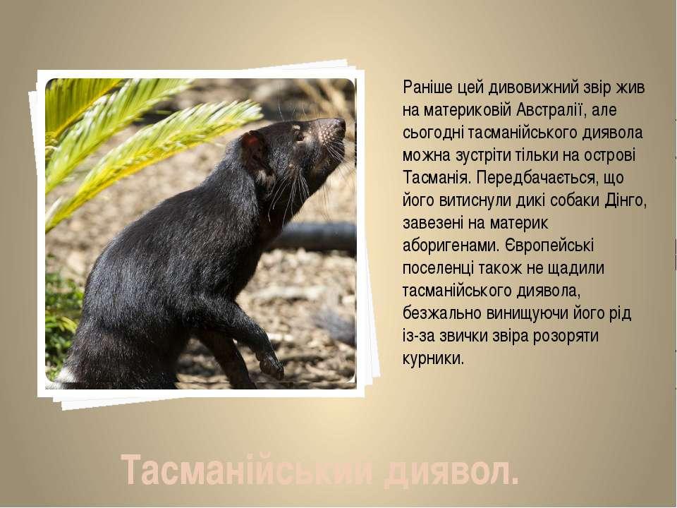 Раніше цей дивовижний звір жив на материковій Австралії, але сьогодні тасмані...