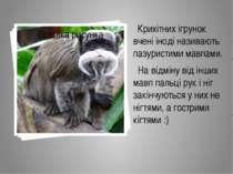 Крихітних ігрунок вчені іноді називають пазуристими мавпами. На відміну від і...