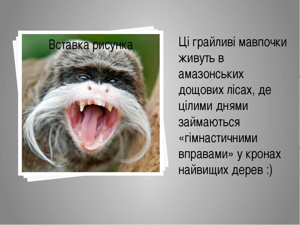 Ці грайливі мавпочки живуть в амазонських дощових лісах, де цілими днями займ...