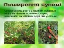 Суниця лісова росте в хвойних і мішаних лісах, на лісових галявинах, серед ча...