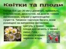 Квітки білі (до 20 мм у діаметрі), правильні, 5-пелюсткові, двостатеві, на до...