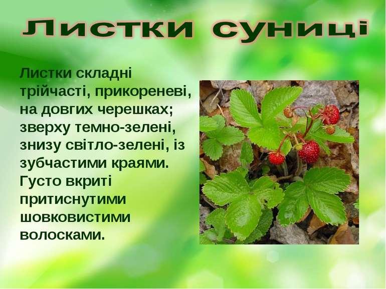 Листки складні трійчасті, прикореневі, на довгих черешках; зверху темно-зелен...