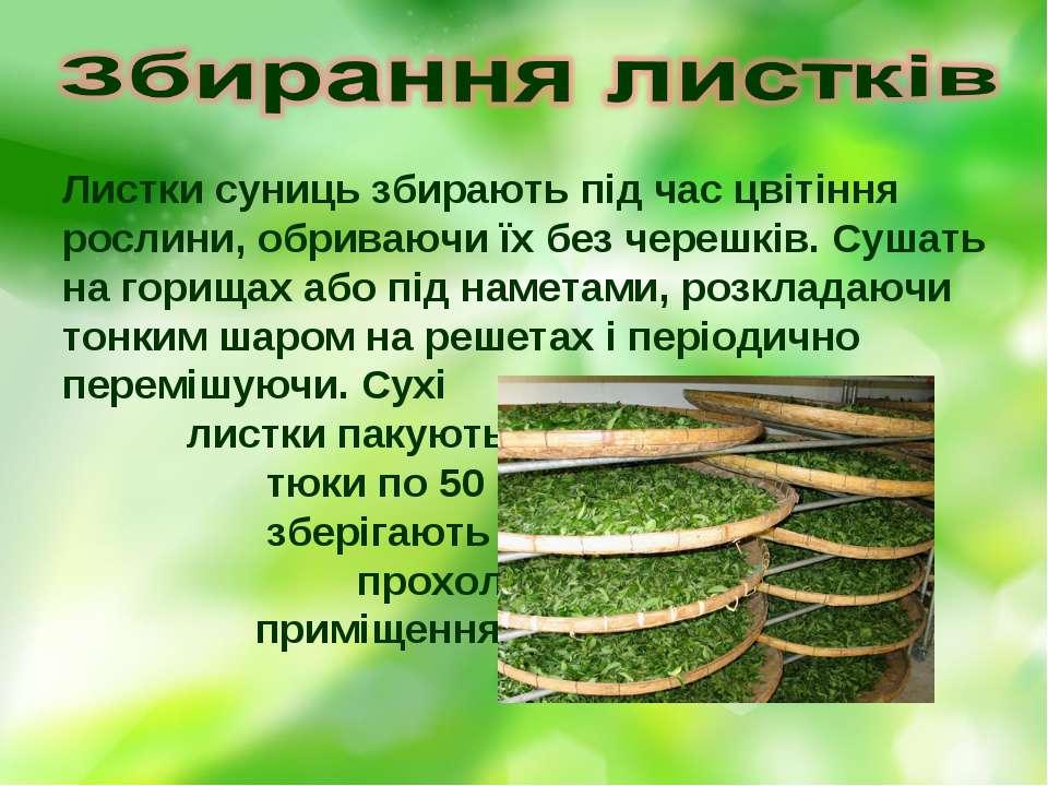 Листки суниць збирають під час цвітіння рослини, обриваючи їх без черешків. С...