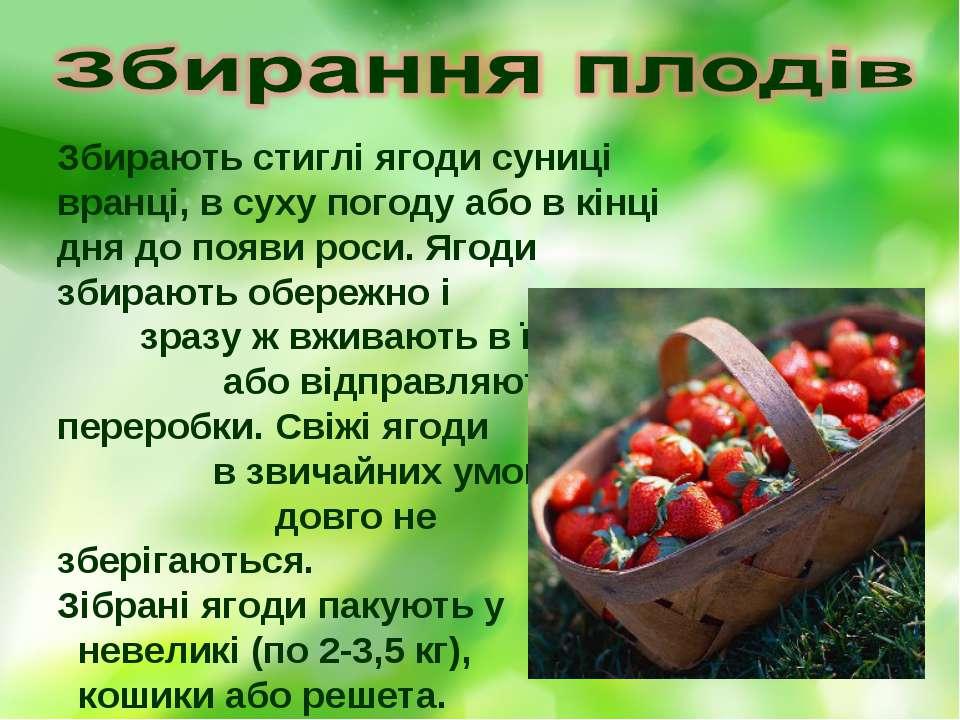 Збирають стиглі ягоди суниці вранці, в суху погоду або в кінці дня до появи р...