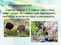 Розмноження Самець обирає 2-3 самиці і риє у піску ямку - гніздо. Всі самиці ...
