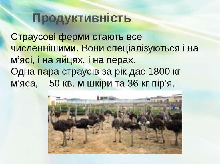 Страусові ферми стають все численнішими. Вони спеціалізуються і на м'ясі, і н...