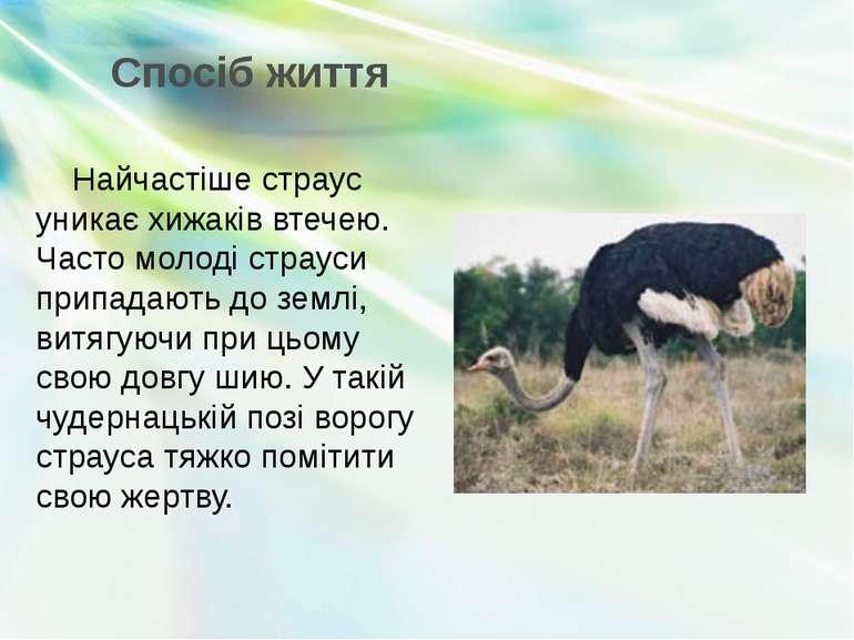 Спосіб життя Найчастіше страус уникає хижаків втечею. Часто молоді страуси пр...