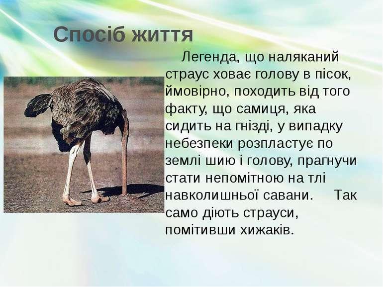 Спосіб життя Легенда, що наляканий страус ховає голову в пісок, ймовірно, пох...
