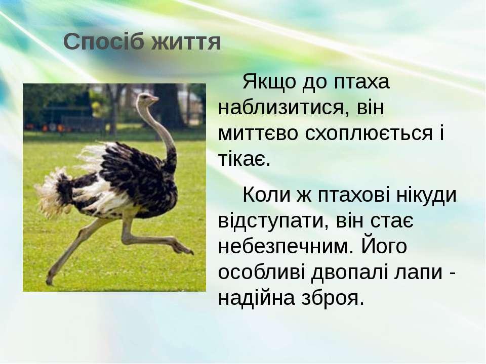 Спосіб життя Якщо до птаха наблизитися, він миттєво схоплюється і тікає. Коли...