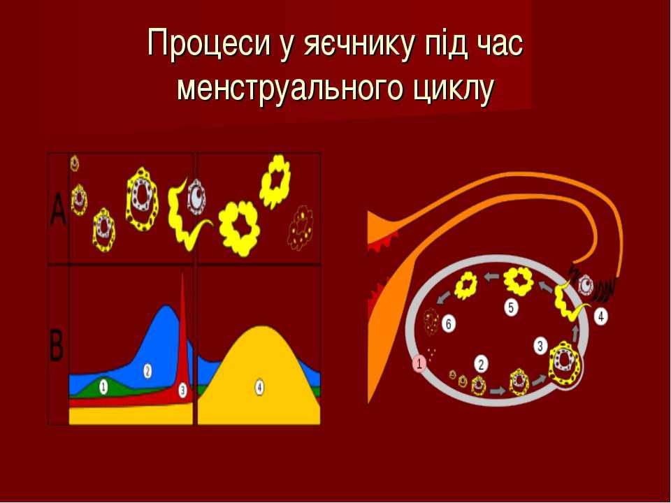 Процеси у яєчнику під час менструального циклу