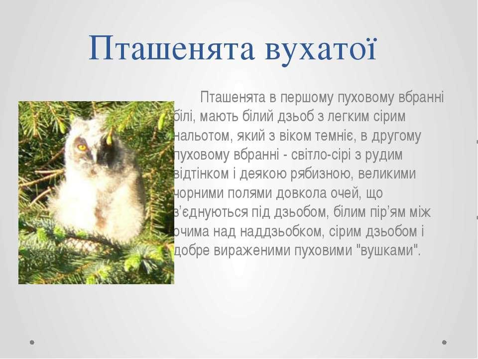 Пташенята в першому пуховому вбранні білі, мають білий дзьоб з легким сірим н...