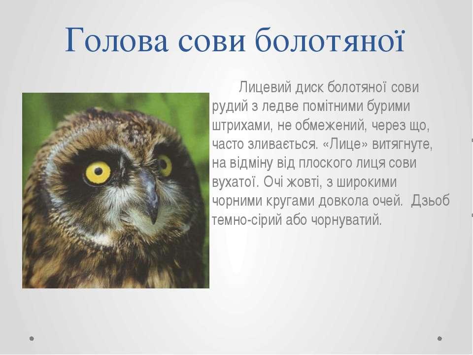 Лицевий диск болотяної сови рудий з ледве помітними бурими штрихами, не обмеж...