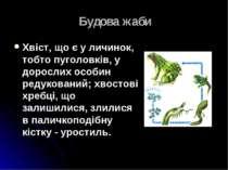 Будова жаби Хвіст, що є у личинок, тобто пуголовків, у дорослих особин редуко...