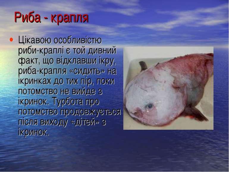 Цікавою особливістю риби-краплі є той дивний факт, що відклавши ікру, риба-кр...