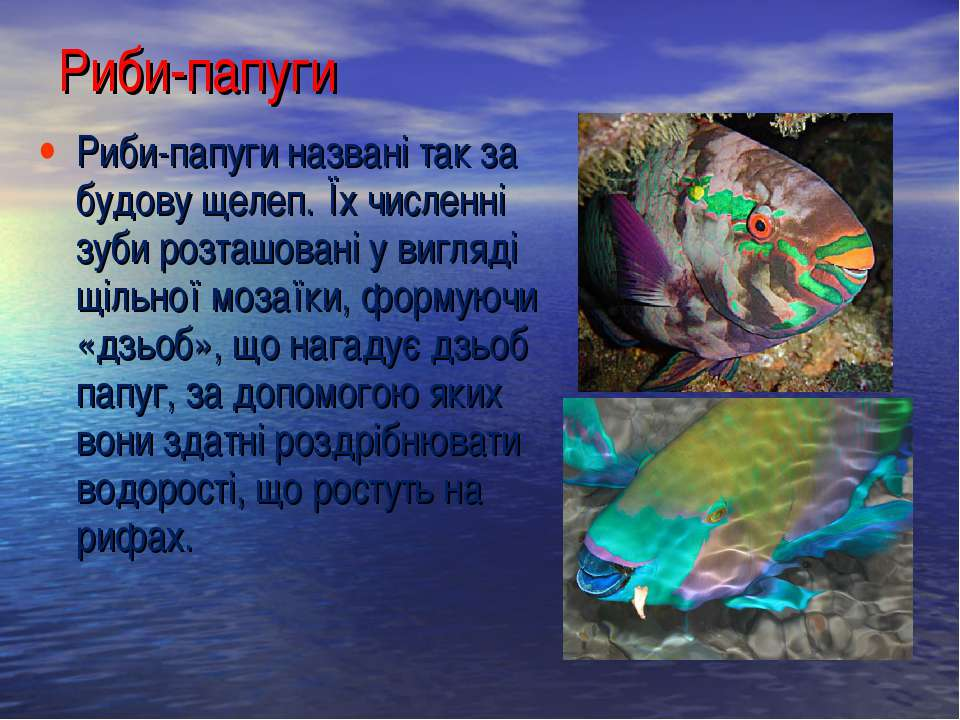 Риби-папуги названі так за будову щелеп. Їх численні зуби розташовані у вигля...