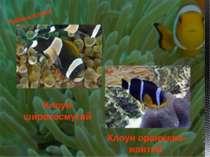 Риби-клоуни Клоун оранжево-жовтий Клоун широкосмугий