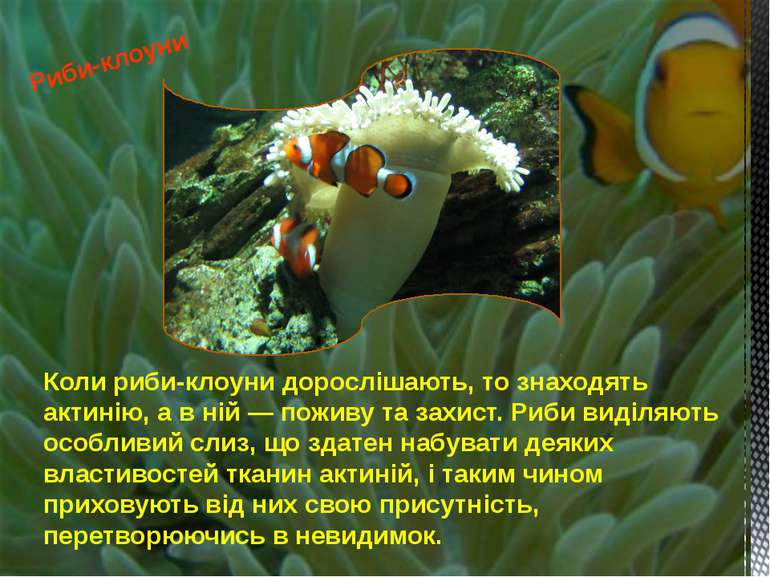 Коли риби-клоуни дорослішають, то знаходять актинію, а в ній — поживу та захи...