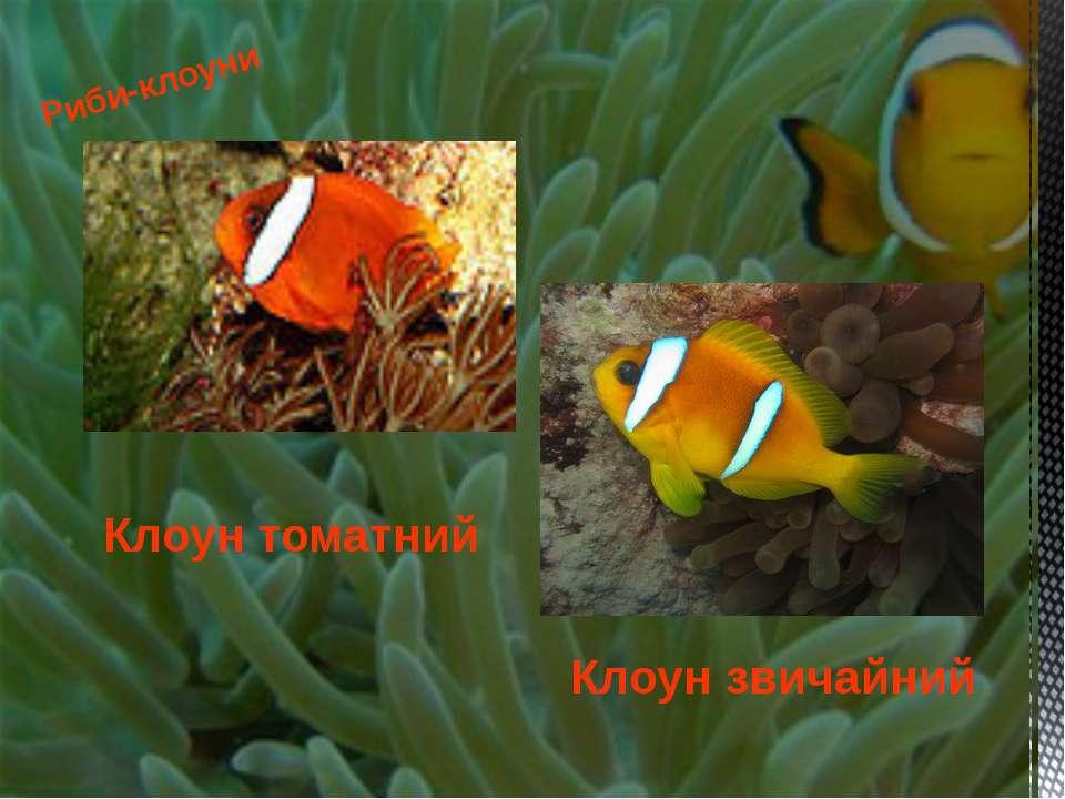 Риби-клоуни Клоун томатний Клоун звичайний