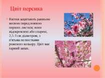 Квітки зацвітають ранньою весною перед появою перших листків; вони відокремле...