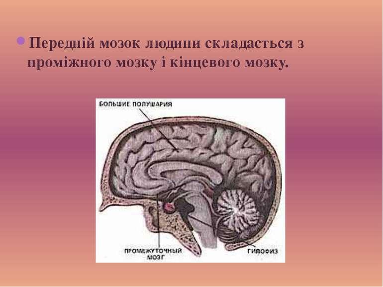 Передній мозок людини складається з проміжного мозку і кінцевого мозку.