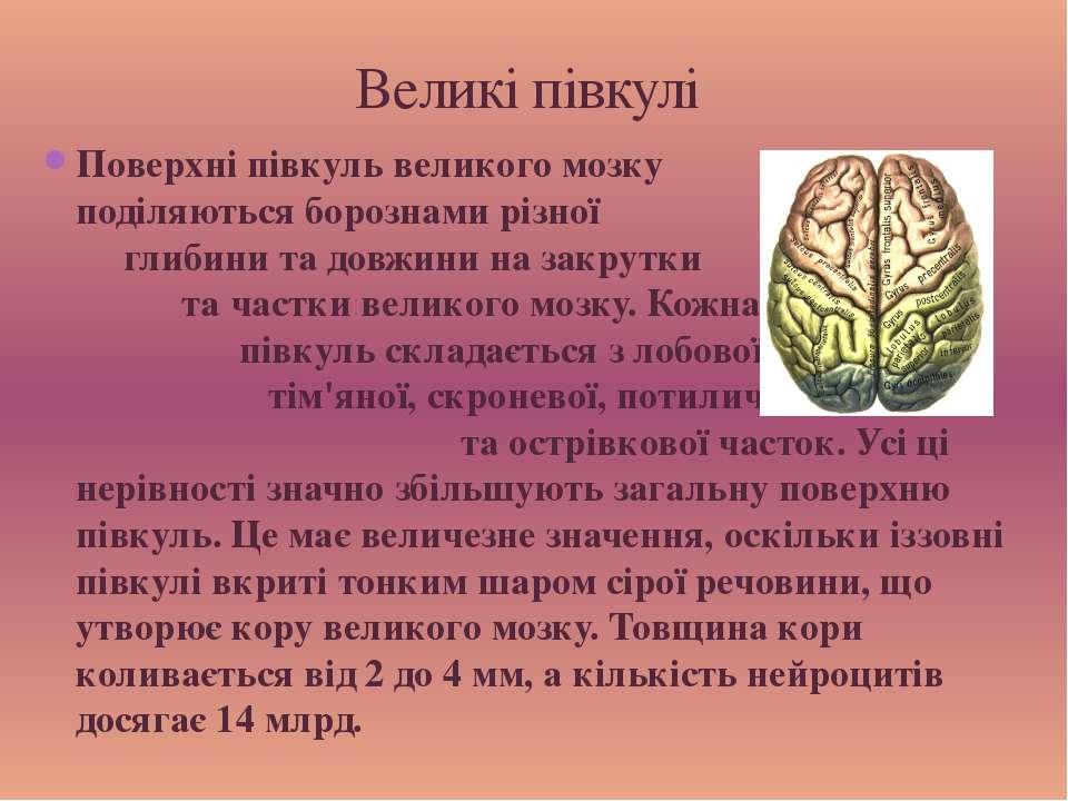 Поверхні півкуль великого мозку поділяються борознами різної глибини та довжи...