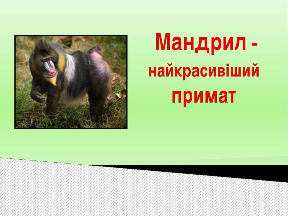Мандрил - найкрасивіший примат