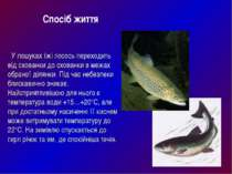У пошуках їжі лосось переходить від схованки до схованки в межах обраної діля...
