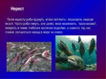 Після нересту риби худнуть, м'язи світліють і втрачають смакові якості. Часто...