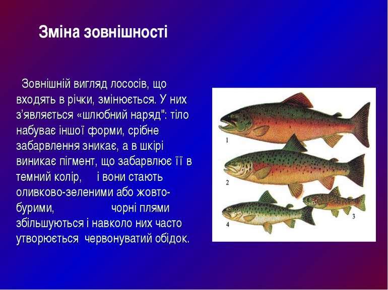 Зовнішній вигляд лососів, що входять в річки, змінюється. У них з'являється «...