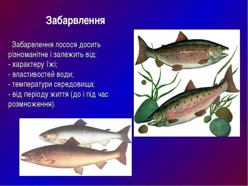 Забарвлення лосося досить різноманітне і залежить від: - характеру їжі; - вла...