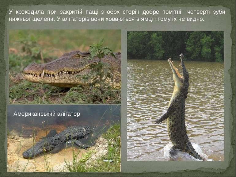 У крокодила при закритій пащі з обох сторін добре помітні четверті зуби нижнь...